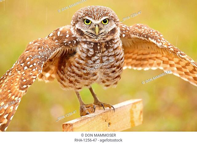 Burrowing Owl (Athene cunicularia) spreading wings in the rain, United States of America, North America