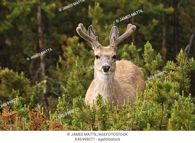 A buck Mule Deer watches from the Lodgepole Pine forest with new, velvet-coated antlers