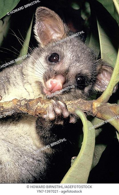 Cute close up image of a brushtail possum Tricosurus vulpecular staring down at us from his favourite fruit tree