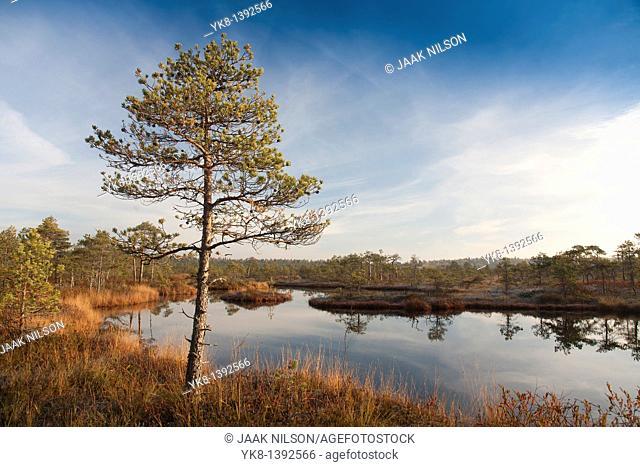 Pinetree by Bog Lake, Estonia