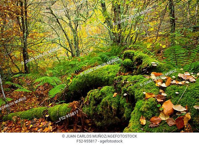 Rainforest, Muniellos Natural Reserve, Asturias, Spain