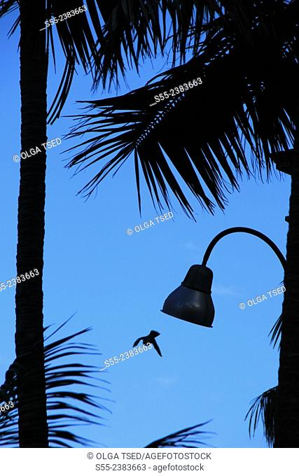 Street light between palm trees and a pigeon flying. Ponta Delgada, Sao Miguel island, Azores, Portugal