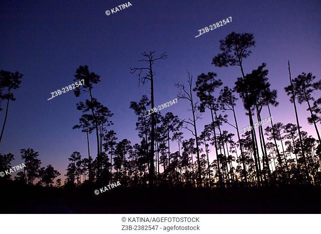 Purple sunset seen through slash pine trees (Pinus elliottii var. densa), Everglades National Park, Florida, USA
