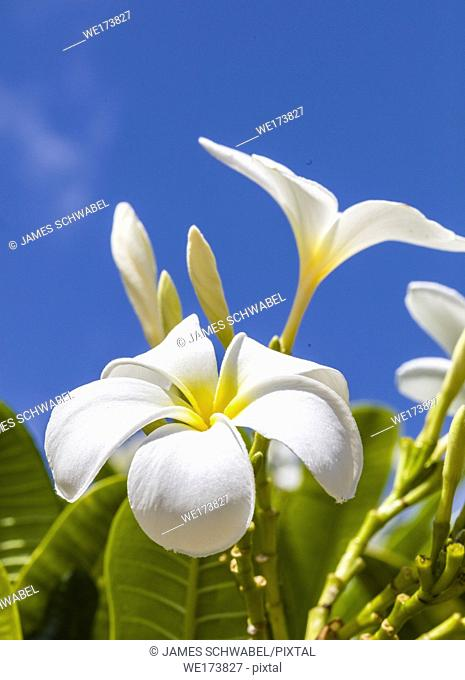 White with yellow center Plumeria blossoms are also known as Lei flowers and Frangipani and used to make traditional Hawaiian leis aganist a blue sky