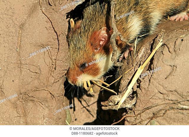 Common Hamster  Black bellied hamster  Cricetus cricetus  Order : rodentia  family : muridae