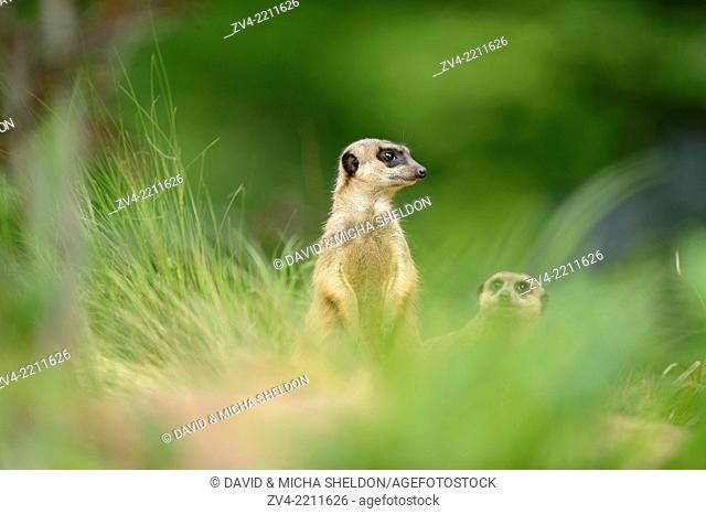 Close-up of a meerkat or suricate (Suricata suricatta) standing on the ground in spring