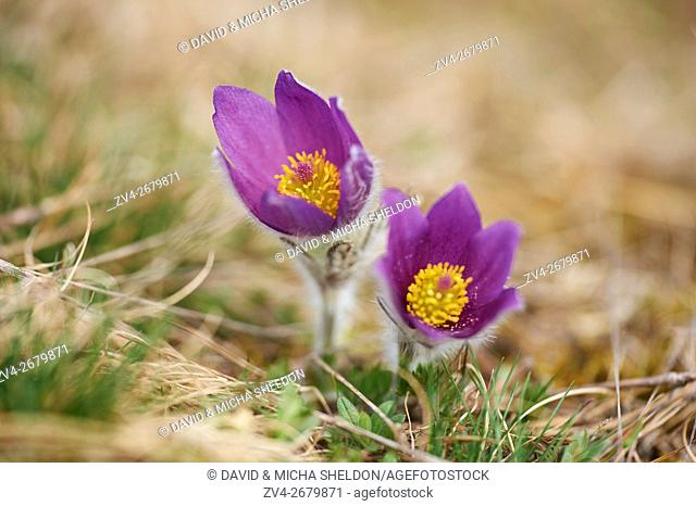 Close-up of pasque flower (Pulsatilla vulgaris) blossoms in spring