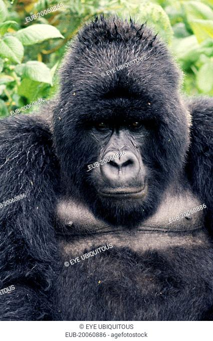 Portrait of mountain gorilla
