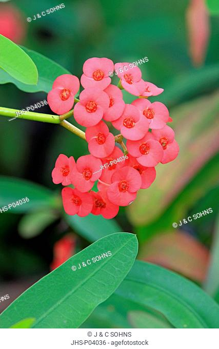 Crown of Thorns, Euphorbia milii, Nosy Be, Madagascar, Africa, blooming