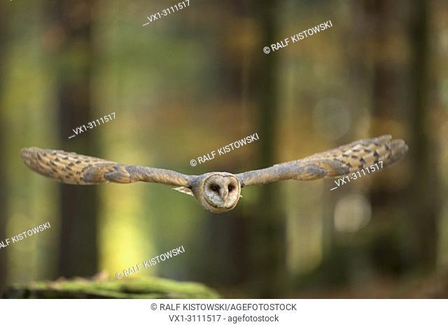 Barn Owl / Schleiereule (Tyto alba) in flight through an autumnal colored open forest