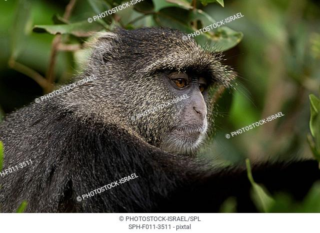 Blue monkey, or samango monkey, (Cercopithecus mitis) in a tree. This monkey lives in troops, deferring to a dominant male (seen here)
