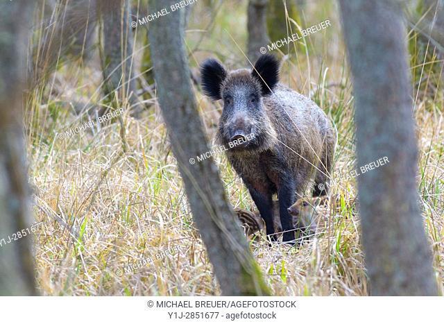 Wild boar (Sus scrofa) with rookies, Hesse, Germany, Europe