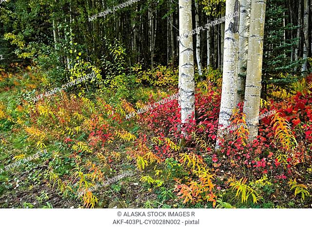 Colorful view of Aspen tree trunks and Fall foliage on the Kenai Pennensula in Southcentral, Alaska