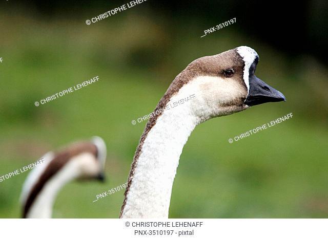 France, Burgundy, Yonne. Around Saint Fargeau. Close up of a swan goose