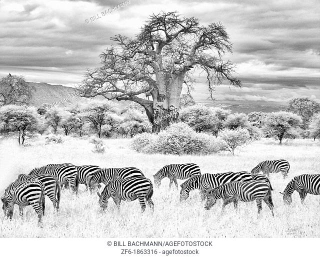 Kenya Africa Amboseli National Park Infrared B&W scenic of tree zebras in reserve