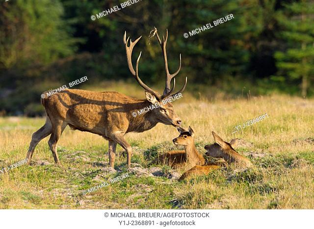 Red deer and Hind with calf (Cervus elaphus) in autumn, Schleswig-Holstein, Germany, Europe