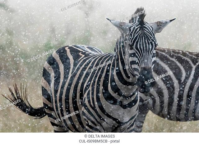 Plains zebras (Equus quagga) under the rain, Seronera, Serengeti National Park, Tanzania