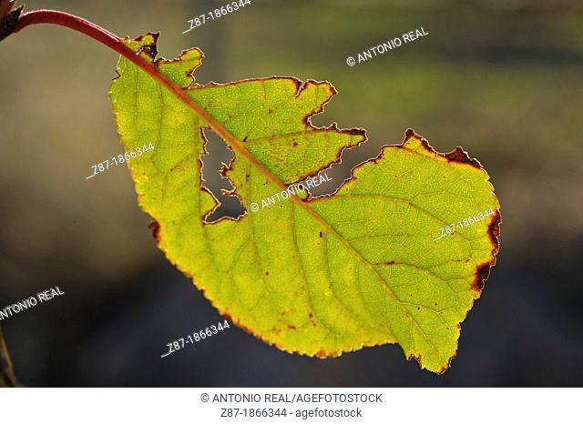 Yellow leaves of plum, Almansa, Albacete