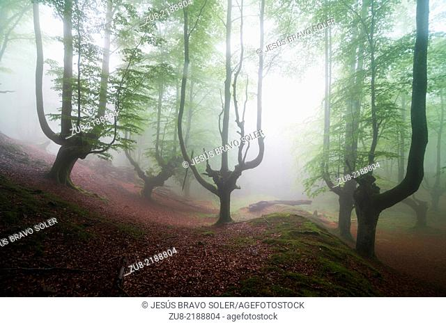 Beech forest trasmocha the Gorbea Natural Park, acquire a characteristic shape of candlestick product of cutting the trunk at a height of 2 to 3 meters