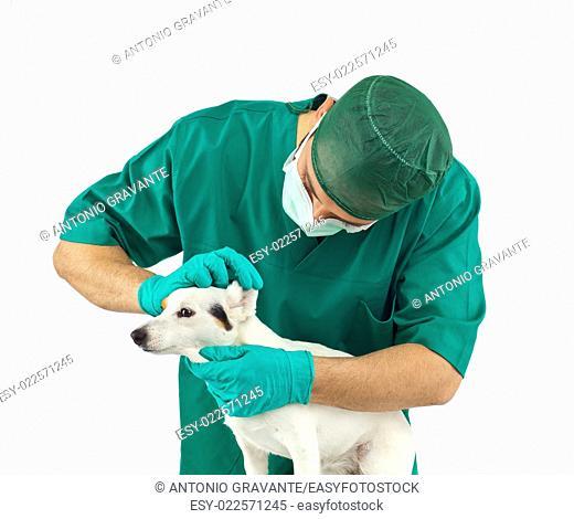 Vet examining an jack russell terrier