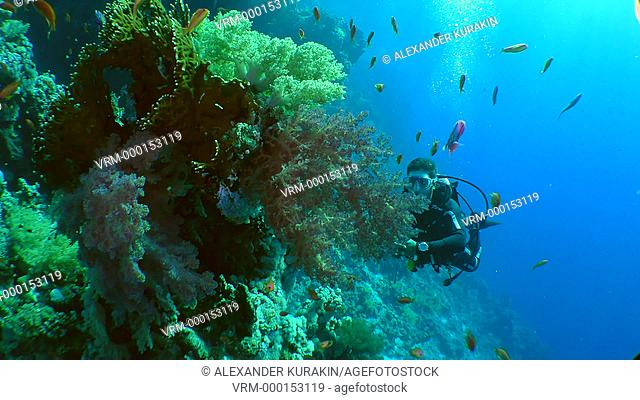 The diver swims past thickets of soft corals