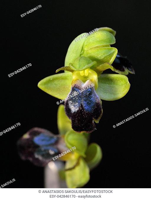 Ophrys cinereophila, Crete