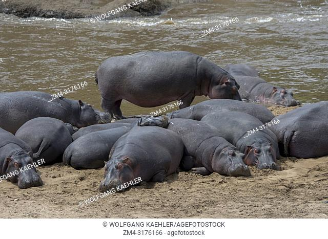 A pool or herd of hippos (Hippopotamus amphibious) on the river bank of the Mara River in the Masai Mara National Reserve in Kenya