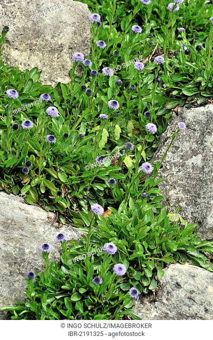 Ivy-leaved Toadflax or Kenilworth Ivy (Cymbalaria muralis, Linaria cymbalaria), Southern Europe
