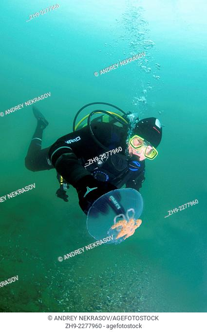 Diver and Common jellyfish (Aurelia aurita), Odessa, Black Sea, Ukraine, Eastern Europe