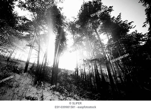 abstract black and white landscape- sunrays in winter forest