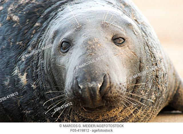 Grey Seal (Halichoerus grypus), close up shot of male. Donna Nook National Nature Reserve, England. UK