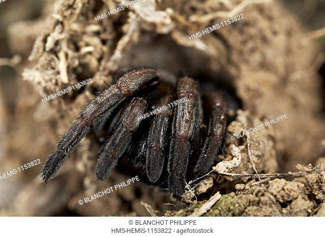 France, Corsica, Araneae, Mygalomorphae, Ctenizidae, Trapdoor spider (Cteniza sauvagesi), at the entrance of its burrow