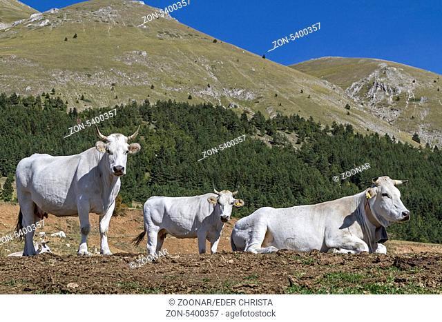 Weiße Kühe auf einer Almwiese in den Abzuzzen