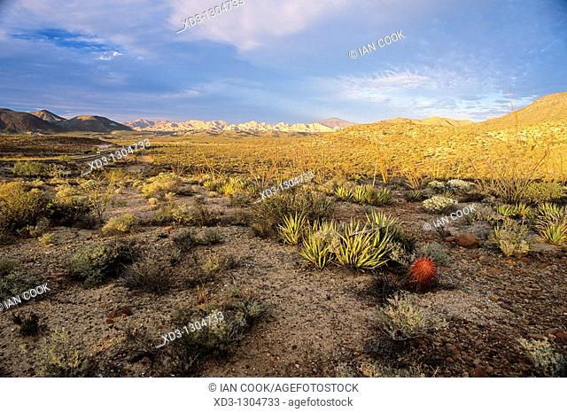 Desierto Central south of Cataviña with compass cactus Ferocactus acanthodes, Baja California, Mexico