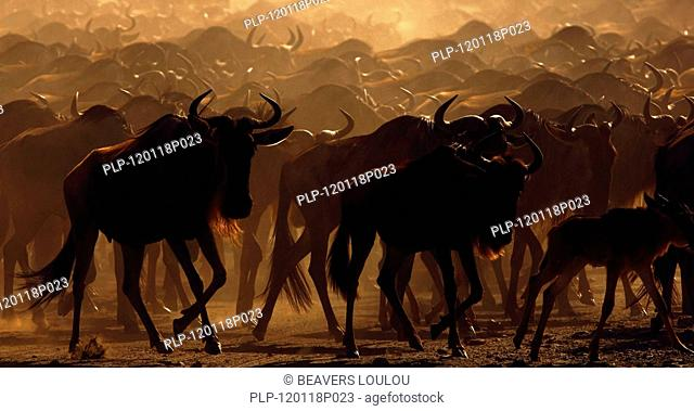 Blue Wildebeest Connochaetes taurinus herd migrating at sunrise, lake Ndutu, Tanzania