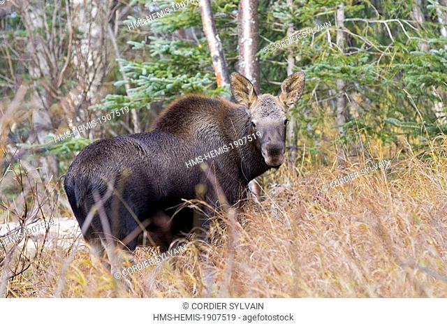 United States, Alaska, Anchorage, Moose (Alces alces), young, Fall