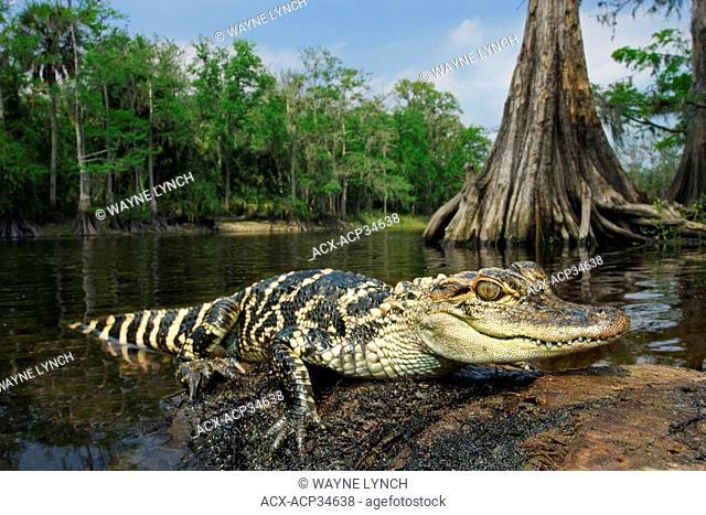 Juvenile American alligator Alligator mississippiensis, central Florida, USA