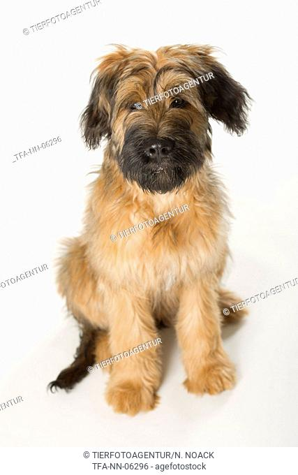 young briard in studio