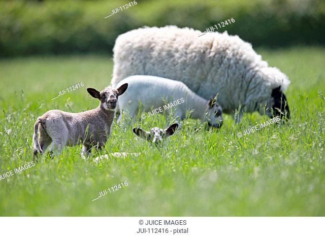 Sheep and lambs grazing in sunny green spring field