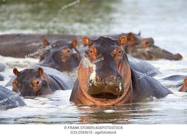 Hippopotamus. Africa