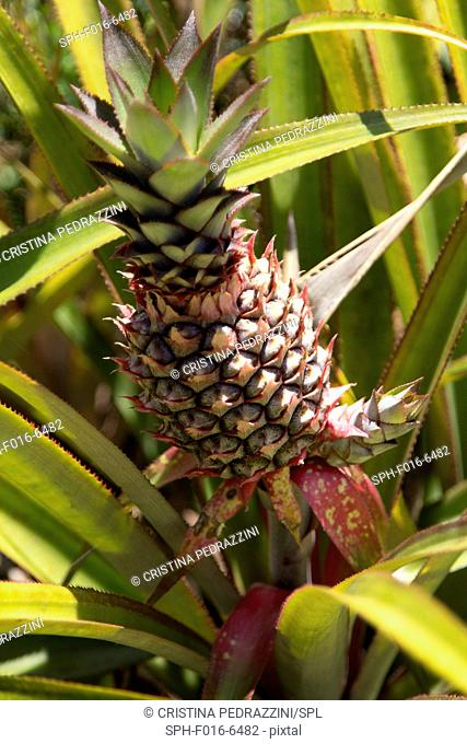 Pineapple growing on plant, close up