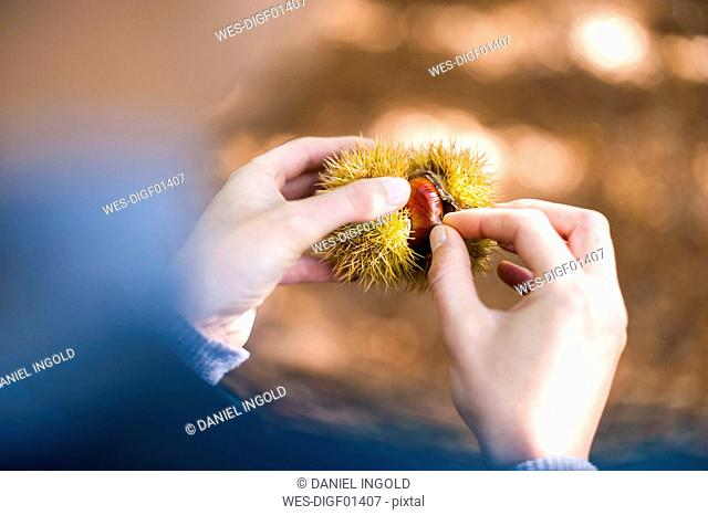 Woman's hands opening peel of sweet chestnut, close-up