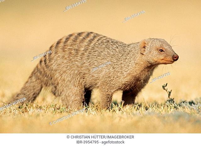 Banded mongoose (Mungos mungo), Etosha National Park, Namibia