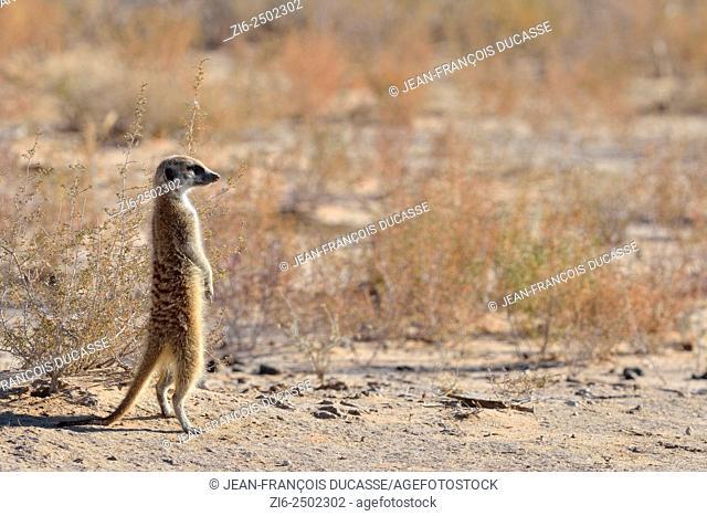 Meerkat (Suricata suricatta), standing, attentive, Kgalagadi Transfrontier Park, Northern Cape, South Africa, Africa