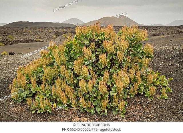 Canary Sorrel (Rumex lunaria) habit, growing on cinder, Timanfaya N.P., Lanzarote, Canary Islands, March