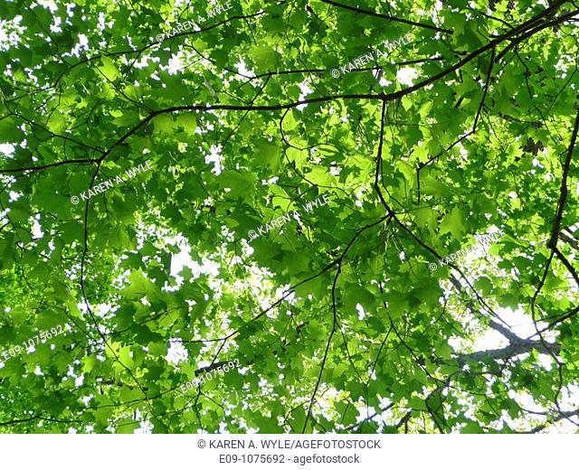 new spring leaves on maple trees overhead, dappled sunlight, Monroe County, Indiana