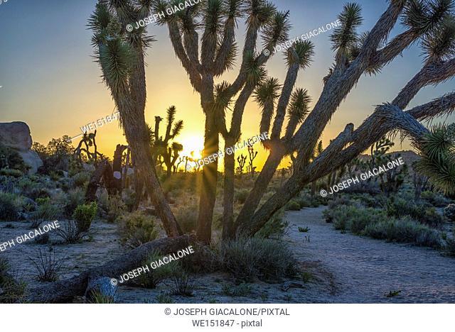 Joshua Trees and desert landscape at sunrise. Joshua Tree National Park, California, USA