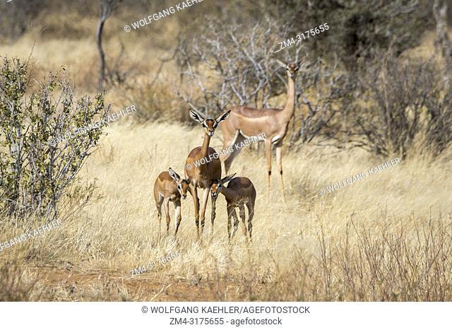 A mother Gerenuk (Litocranius walleri) with twin babies in Samburu National Reserve in Kenya