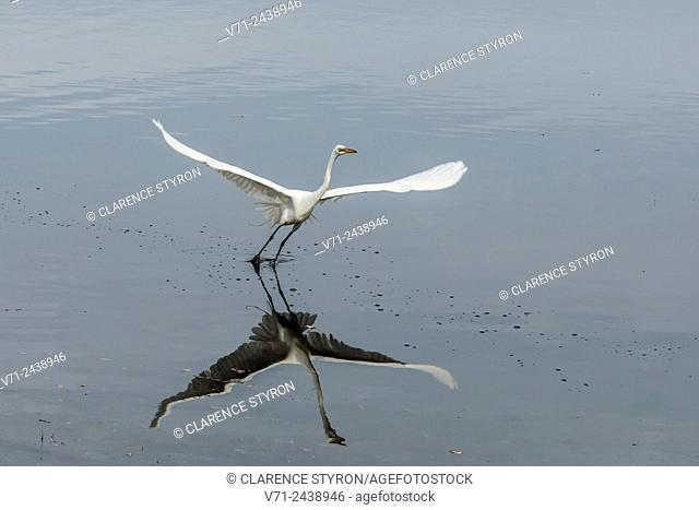 Great Egret (Ardea alba) Taking Flight on Currituck Sound near Corolla NC USA