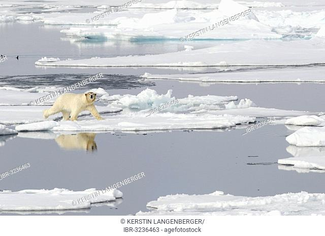 Polar Bear (Ursus maritimus) with a blood-stained brown coloured head on pack ice